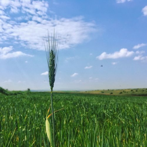 Spica Wheat Blue Sky White Clouds Plant Field Growth Sky Land Landscape Beauty In Nature Environment Nature Cloud - Sky Agriculture Tranquility Tranquil Scene Crop  Rural Scene Scenics - Nature Day Farm Green Color No People