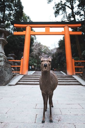 Japan Deer in Kasuga Taisha Shrine under Torii Gate Goat Zen Travel Travel Destination Nature Photography Cute Animal Nature TORII Torii Gate Vermillion Japan Japanese  Kyoto Taisha Zen Shinto Shintonism Shrine Kasuga Taisha KASUGA Deer