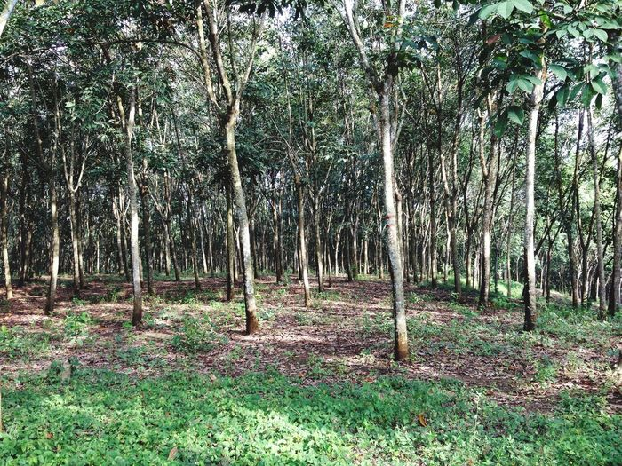 Rubber tree Forest Tree Trunk WoodLand Nature Growth Landscape Outdoors Abundance Tree Area Rubber Tree Plants Plantation