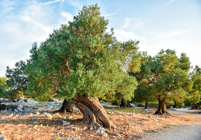 Big and old ancient olive tree in the olive garden in Mediterranean - Croatia or Greece. Sunset or sunrise. Ancient Beauty In Nature Croatia Day Garden Green Color Growth Israel Landscape Nature No People Oil Olive Olive Oil Olive Tree Olive Trees Outdoors Sky Social Issues Sunny Tree Tree