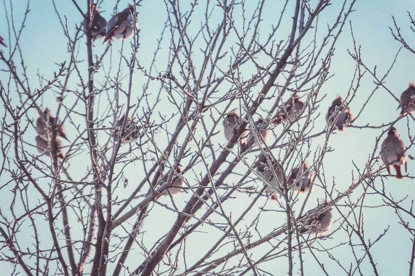 Animal Animal Themes Animal Wildlife Animals In The Wild Bare Tree Beauty In Nature Bird Branch Day Group Of Animals Nature No People Outdoors Perching Plant Sky Tree Vertebrate Waxwing Waxwings