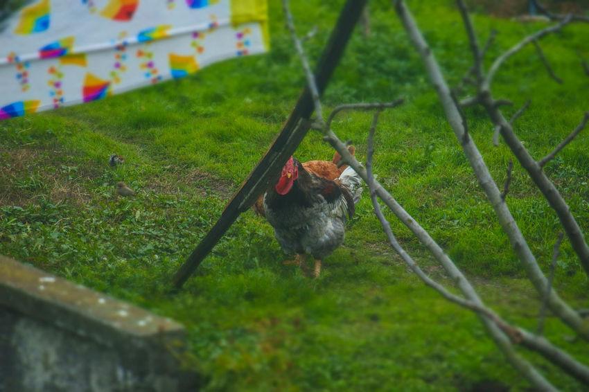 Animal Themes Bird Chicken Desde Mi Ventana... Gallinas Gallo Green Color Nature No People Patio Pollos