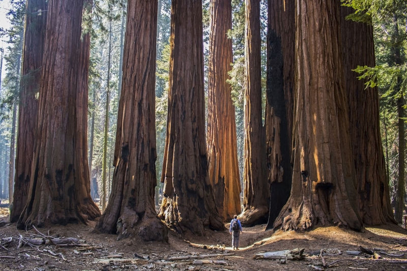 Rear View Of Man Standing By Giant Sequoia Trees In Forest