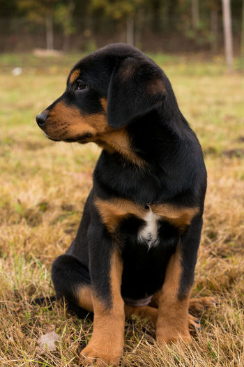 One Animal Animal Themes Grass Mammal Field No People Nature Dog Day Outdoors Domestic Animals Pets Close-up Puppy Puppy❤ Rottweiler Sitting
