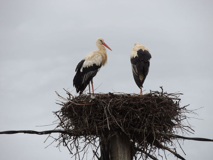 Low angle view of storks perching on nest against clear sky