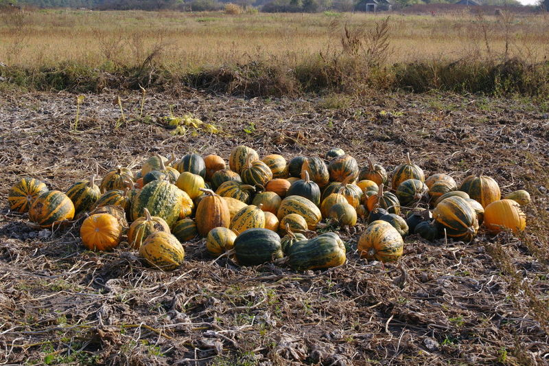 Pummkin heap in the field Beauty In Nature Environment Field Food Food And Drink Land Nature Pumpkin Sunlight Vegetable