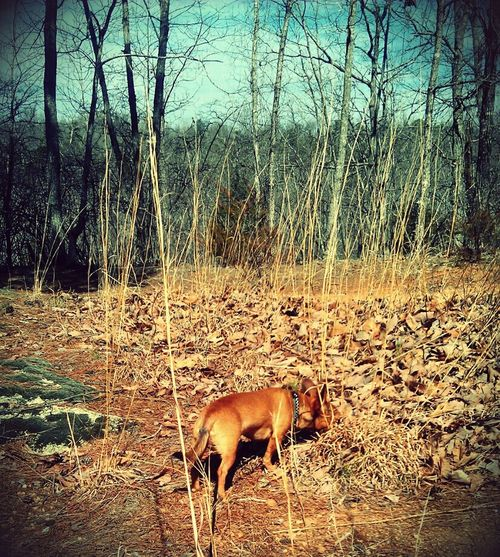 40 acre life Doglife Doglover Chiweenie Nature Photography Taking Photos Animal Photography Trees First Eyeem Photo Followme