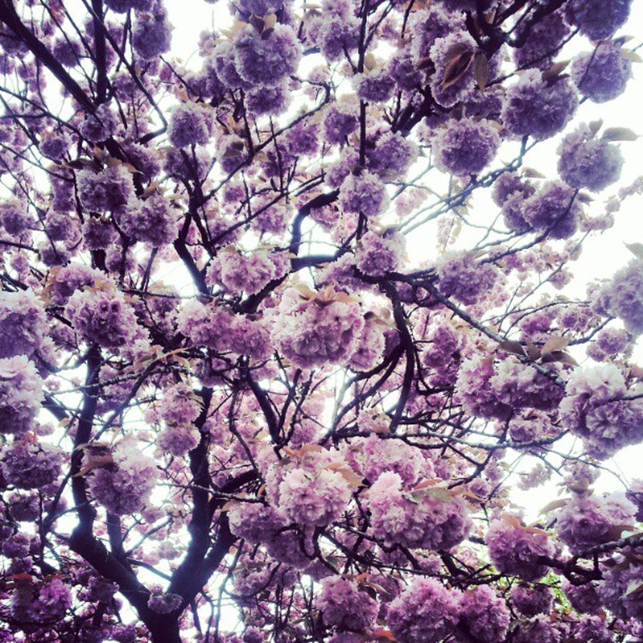 blossom, flower, tree, springtime, low angle view, beauty in nature, branch, fragility, nature, growth, botany, freshness, cherry tree, no people, pink color, magnolia, backgrounds, day, outdoors, sky, close-up, flower head