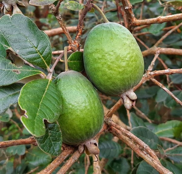 😀👌👌twice as nice Feijoas Texture Happy Weekend Snack Attack Copy Space Loving My Life Nature Outside My Window Sweet Fruit Twice As Nice 2 In My Garden Autumn Fruits Ripe Fruit Tree Fruit Close-up Green Color Plant Food And Drink Growing Leaves Twig Juicy Leaf Vein Vitamin C Fruit Tree