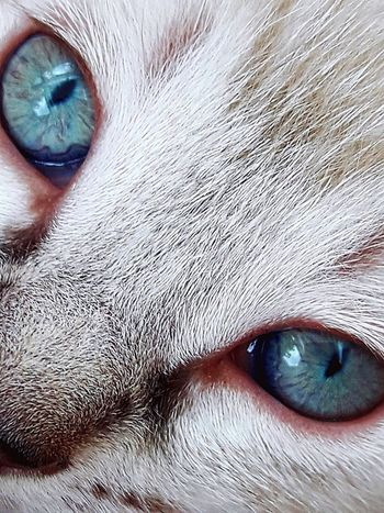 Yeux bleus EyeEmNewHere Cat Cute Eyes Pets One Animal Animal Themes Domestic Animals Portrait Human Eye Eyesight Eyelash Looking At Camera EyeEm Ready