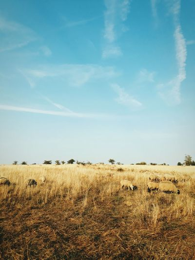 Germany Field Summer Quiet Rural Scene Agriculture Sky Animal Themes Landscape Herd Group Of Animals Flock Of Sheep Farm Animal Sheep Grazing Livestock