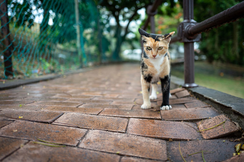 Malacca One Animal Mammal Domestic Pets Domestic Animals Cat Feline Vertebrate Domestic Cat Looking At Camera Portrait Sitting No People Day Front View Footpath Focus On Foreground Whisker Tabby