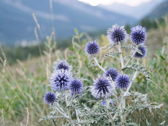 Flower Growth Nature Fragility Plant Beauty In Nature Flower Head Field Day Focus On Foreground Uncultivated Freshness No People Outdoors Blooming Close-up Thistle
