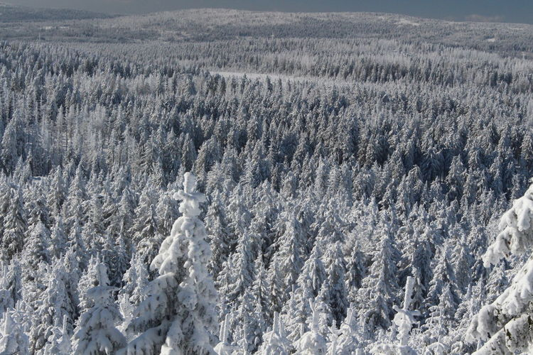 winter impressions of Nationalpark Harz Cold Temperature Snow Winter Nature Harz Brocken Trees Barks Of A Tree Land No People Beauty In Nature Environment Landscape Scenics - Nature Tranquil Scene Plant Tranquility Tree Mountain High Angle View Forest Non-urban Scene Outdoors Pine Tree Coniferous Tree