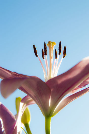 Low Angle View Of Pink Lily Against Clear Blue Sky On Sunny Day