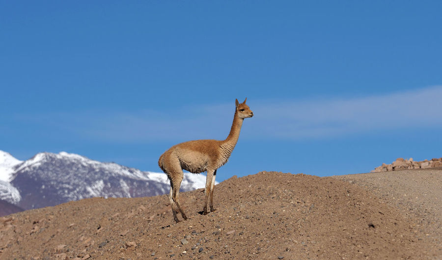 Vicuña standing by gravel road against sky
