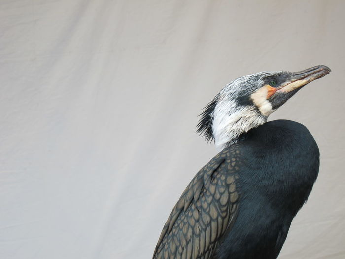 Low Angle View Of Cormorant