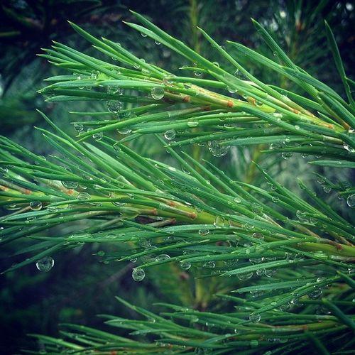 Капли дождяGarden Green Nice Naturelovers Nofilter Nature Cool Color Detail Drops Rain Instadrops Instacolor Instago Amazing Awesome зеленый хвоя ёлка Дождь капли Иголки