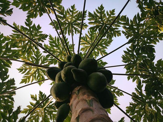 Papaya Outdoors No People Costa Rica Costa Rica❤ Perez Zeledon Pérez Zeldon Barrio San Andrés, Pérez Zeledón Frutos Fruta Frut Papaya Leaf Papaya Tree Papaya Fruit