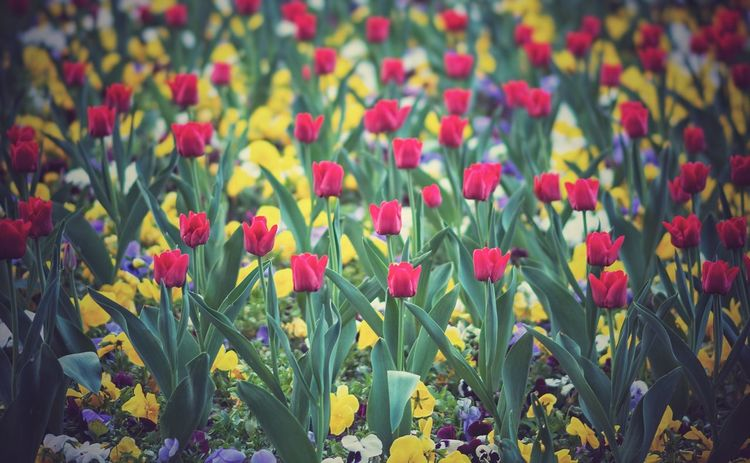 Tulips Red Flowers Garden Many Red Tulips Edited Many Flowers Garden Decor