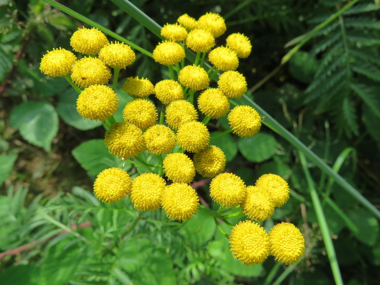 Rainfarn, tansy, yellow flowers, closeup Beauty In Nature Close-up Flower Flower Head Flowering Plant Focus On Foreground Green Color Growth Inflorescence Nature No People Outdoors Plant Rainfarn Tansy Yellow