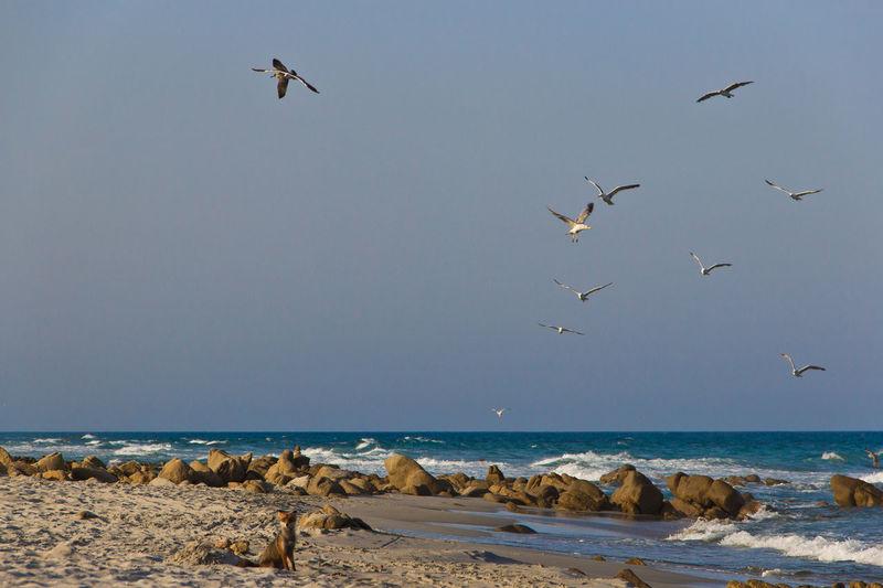 Animal Themes Animals In The Wild Beach Bird Fox Fox And Seagulls Fox On The Beach Sand Sardegna Sea Seagulls Seagulls And Sea Shore Summer Wildlife