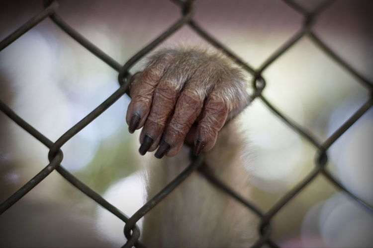 Monkey in the cage Monkey's Finger Adult Barrier Boundary Chainlink Fence Close-up Day Fence Finger Focus On Foreground Hand Holding Hopelessness Human Body Part Human Hand Metal Monkey One Person Outdoors Safety Senior Adult Wire Wire Mesh