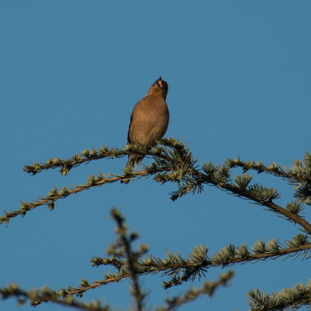 Singing Bird Animal Themes Animal Wildlife Animals Animals In The Wild Bird Blue Branch Clear Sky Day Low Angle View Nature No People One Animal Outdoors Perching Singing Bird Sky Spring Springtime Tree