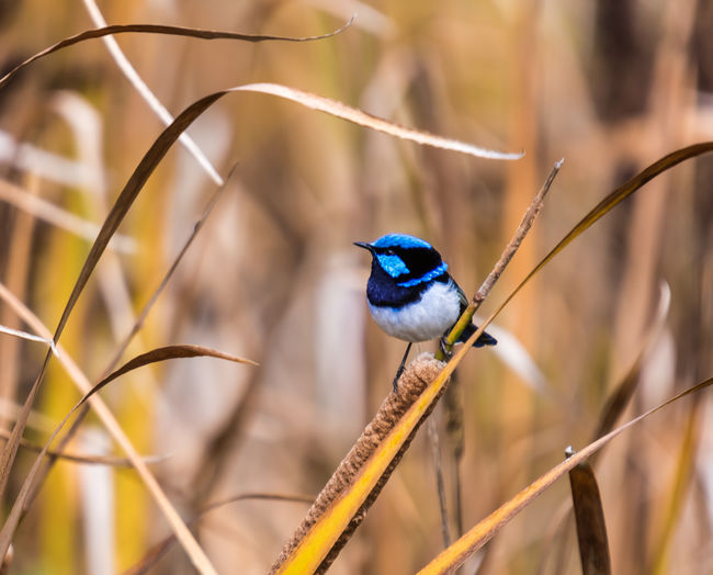 Blue Wren Animal Wildlife One Animal Animals In The Wild Animal Bird Animal Themes Vertebrate Perching Focus On Foreground Plant Day No People Nature Kingfisher Branch Close-up Outdoors Songbird  Selective Focus Blue Stick - Plant Part Wren