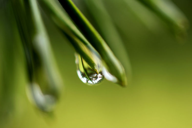 Beauty In Nature Blade Of Grass Close-up Coniferous Tree Day Dew Drop Focus On Foreground Fragility Freshness Green Color Growth Nature No People Outdoors Plant Plant Part Purity Rain RainDrop Selective Focus Vulnerability  Water Wet