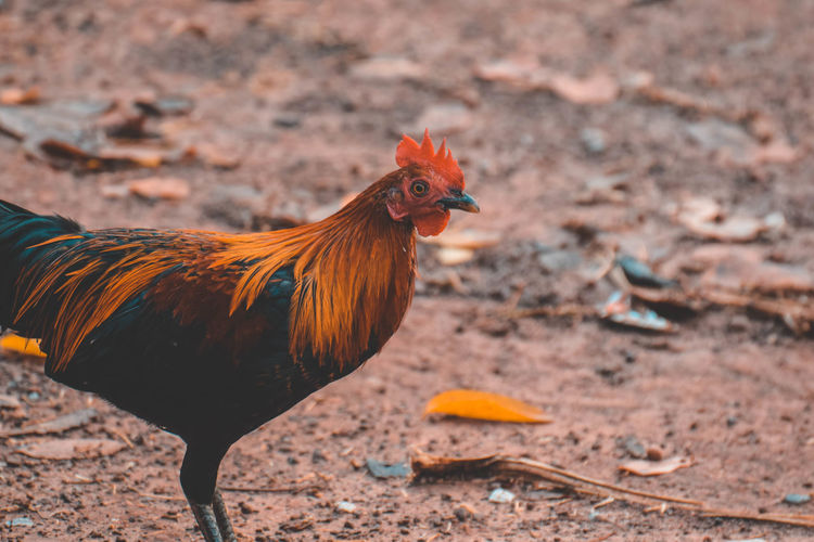 Close-up of rooster on land