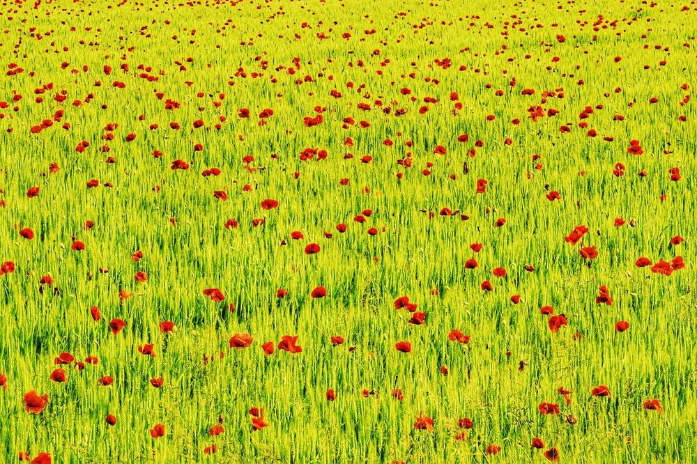spotted EyeEm Best Shots EyeEm Best Edits Poppy Poppy Fields Poppy Field Poppy Flowers Poppies  Poppies Field Poppies In Bloom Poppies Blooming Corn Field Spring Springtime Spring Flowers Spring 2016 Spring Has Arrived Spring Is Coming  Nature_collection Nature Backgrounds