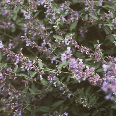 Lavender 💜 Katessa Katessaproductions NH Nhphotography nhphotographer photooftheday picoftheday dailyig instagood instalike floral photography photographer amateurphotogtapher flowers flower home