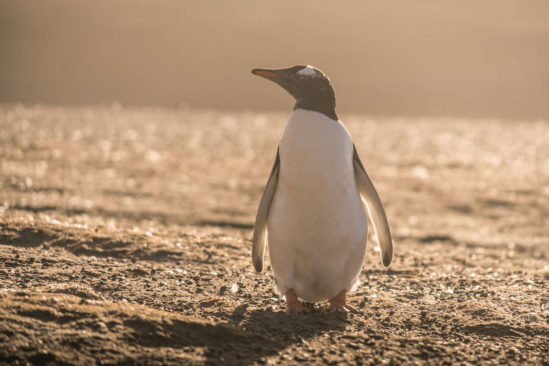 Side view of a penguin on beach