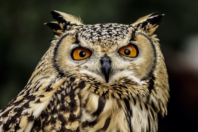 Close-up of horned owl