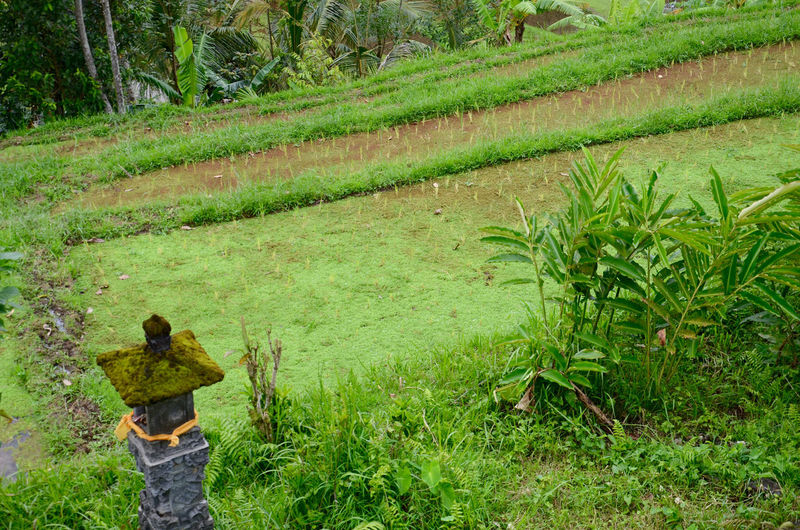 Bali, Indonesia Rice Paddy Agriculture Beauty In Nature Day Field Grass Green Color Growth Landscape Nature Outdoors Rice Terrace Terrace Field