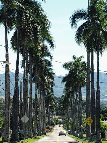 Tree Palm Tree The Way Forward Growth Tree Trunk Day Nature Transportation Outdoors Sky Scenics Beauty In Nature No People Road Clear Sky Street Streetphotography Street Photography Olympusphotography Olympus EyeEm Best Shots EyeEmNewHere Oahu Oahu, Hawaii Hawaii Life