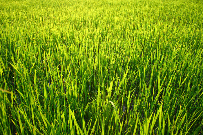 green young rice field grass background ASIA Green Green Color Plant Rice Sapling Sunlight Thailand Young Adolescent Argriculture Background Field Grass Green Background Green Field Green Fields Growth Laddie Nature Rice Field Seedling Sprout Summer Young Rice