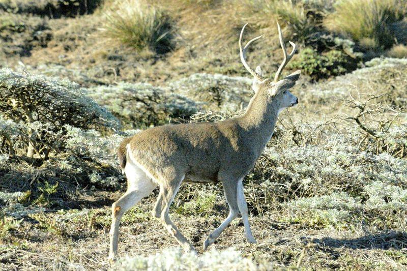 Reindeer Walking On Field In Forest