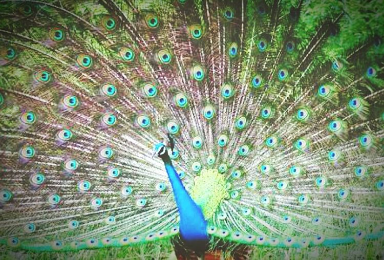 A beautiful peacock Peacock First Eyeem Photo