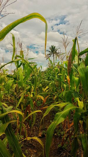 Corn Corn Field Outdoors Beauty In Nature