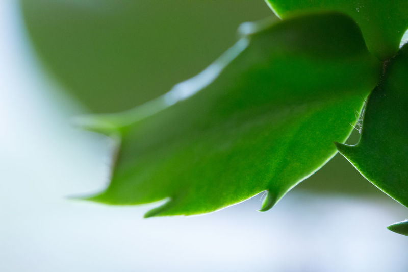 Schlumbergera cactus Beauty In Nature Botany Close-up Detail Freshness Green Green Color Growth Leaf Leaf Vein Leaves Macro Macro Nature Natural Pattern Nature Plant Schlumbergera Pivotal Ideas Abstract Gardening