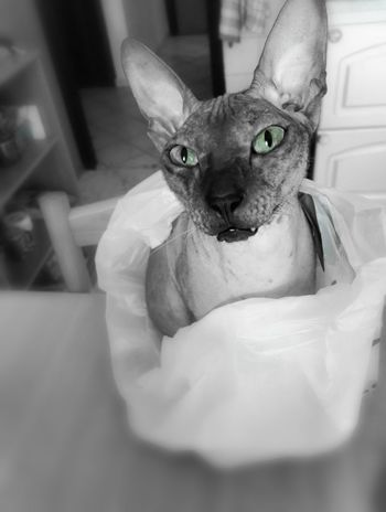 He just loves bags. Erwin Cat♡ Don Sphynx Sphynx Sphynxcat I Love My Cat New Life No People Animal Pets My Year My View Pet Portraits