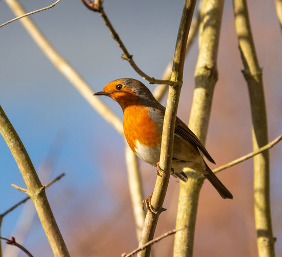 Bird Vertebrate Animal Perching Robin Day Twig Tree Outdoors Nature Focus On Foreground No People Robin Redbreast Blue Sky Winter