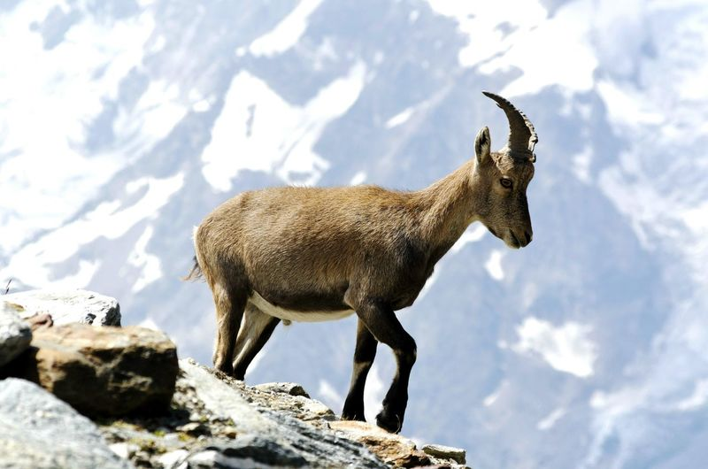 Ibex On A Rock Ibex Animals In The Wild Animal Wildlife Animal Side View One Animal Outdoors Day No People Mammal Nature Animal Themes