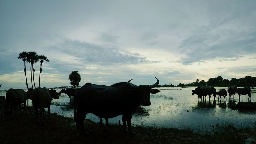 At the evening farmers bring thier buffalos to staying with floods near their home. Goprohero5 Countryside Farmers Field Rural Scene Flood Buffalo Farm Animal Cattle Domestic Cattle First Eyeem Photo