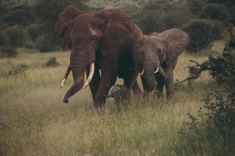 elephants are the best EyeEm Best Shots EyeEm Nature Lover Nature African Elephant Animal Themes Animal Trunk Animal Wildlife Animals In The Wild Beauty In Nature Day Elephant Mammal Nature No People Outdoors Safari Animals Tusk Wildlife