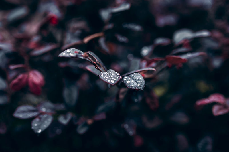 Rain Rain Plant No People Close-up Nature Beauty In Nature Backgrounds Flower Full Frame Outdoors Selective Focus Shiny Day Flowering Plant Growth Leaf Red Celebration Vibrant Color Focus On Foreground Plant Part