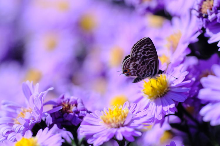 Flower Flower Head Perching Butterfly - Insect Insect Purple Close-up Plant Animal Themes Lavender Lavender Colored In Bloom Animal Wing Pollen Pollination Dragonfly Blossom Plant Life Botany Aromatherapy