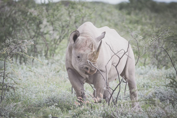 Rhino on field